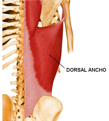 musculo dorsal ancho